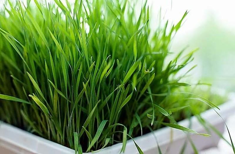 1. Цитронелла Это растение является одним из самых популярных ингредиентов во многих репеллентах. Вы