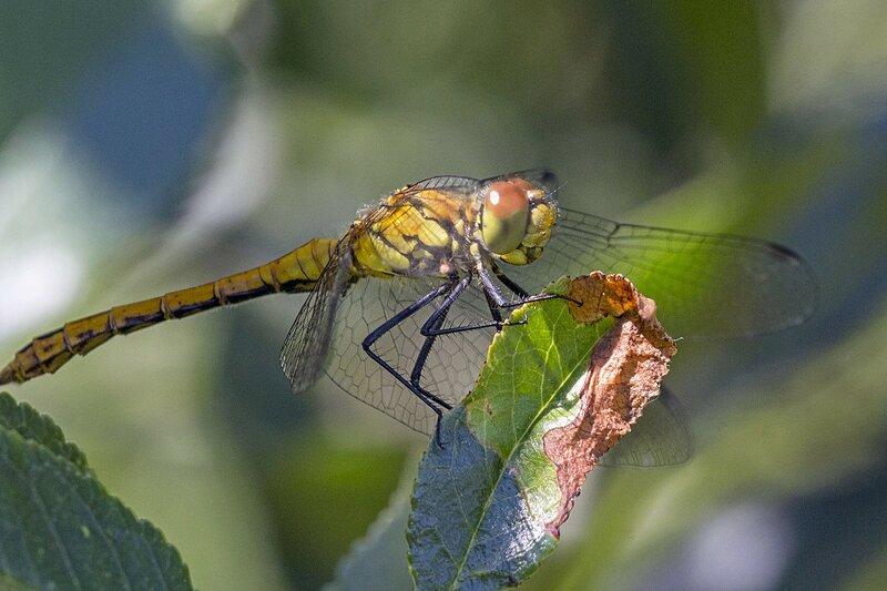 Стрекоза жёлтая (Sympetrum flaveolum), самка. Желтовато-бурая стрекоза с чёрными полосками, крылья с янтарным пятном, глаза снизу серые, сверху коричневые.