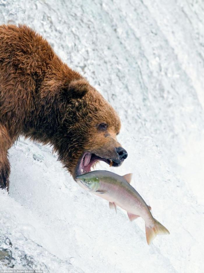Медведи на рыбалке