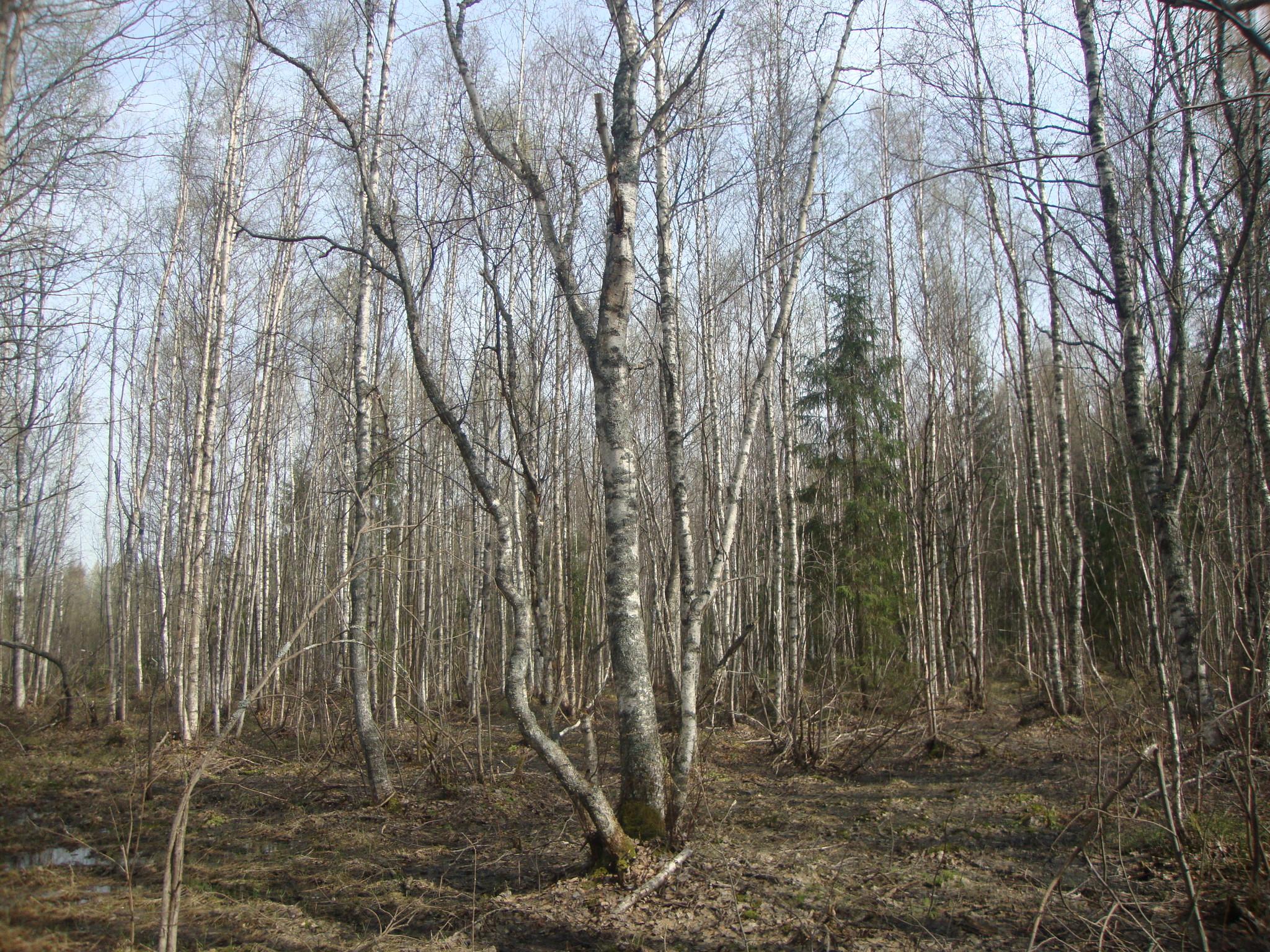 Лес просыпается.