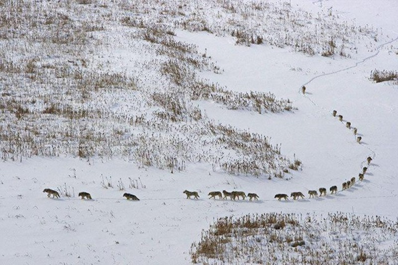 Впереди стаи идут три старых слабых волка. Они бы наверняка погибли, если бы шли сзади, а так осталь