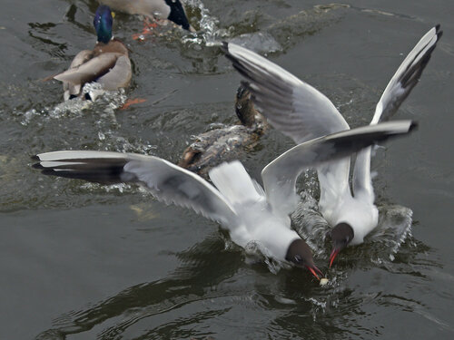 Озёрная (речная, или обыкновенная) чайка (Larus ridibundus). Иногда утки вовсе уходят от конкуренции и битвы за хлеб: пусть чайки между собой разбираются Автор фото: Юрий Семенов