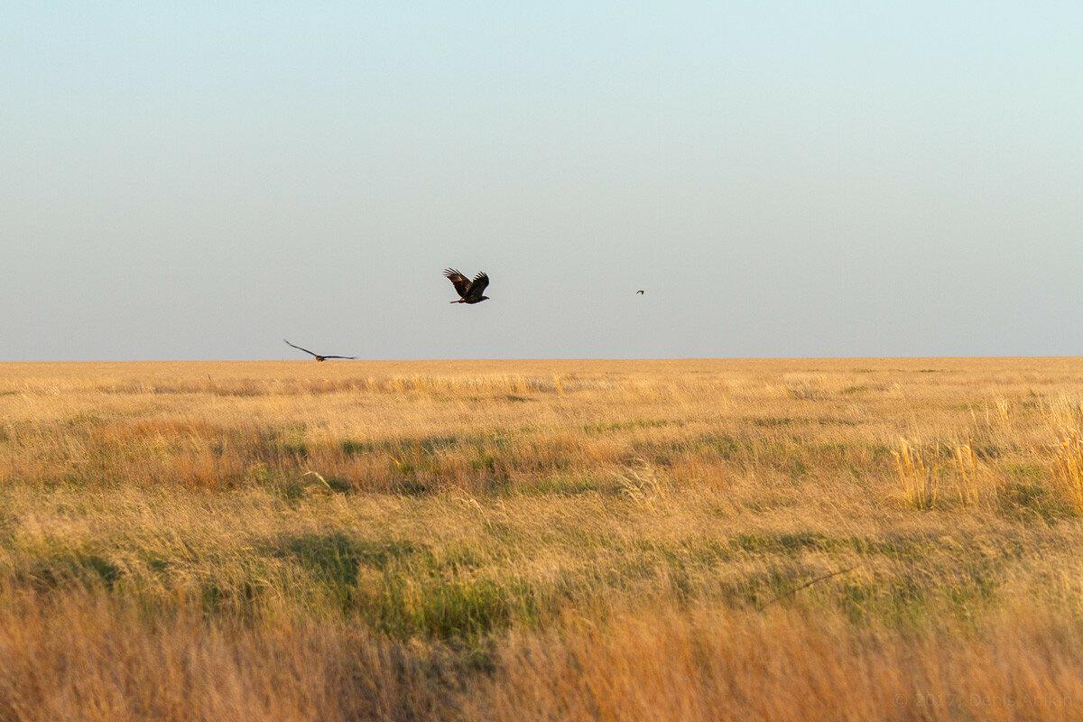 Степной орёл фото 7