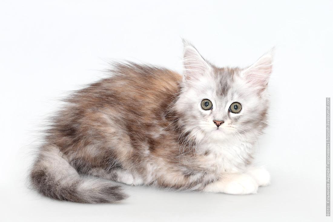 мейн кун котенок фотография