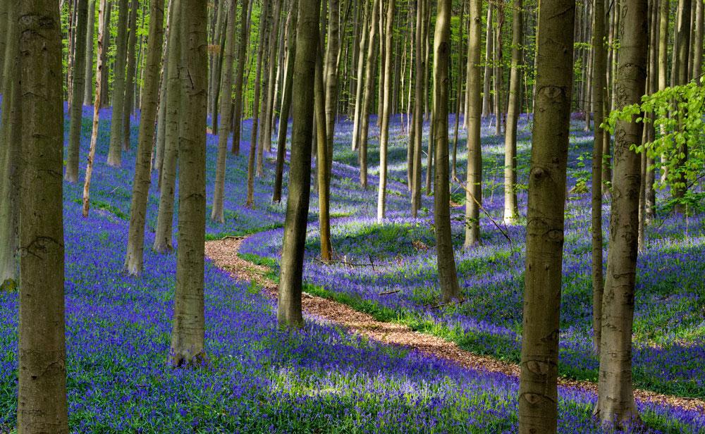Фотографии Халлербоса   лес синих колокольчиков в Бельгии 0 140af2 f8bdd15c orig