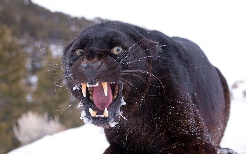 Черный всегда в тренде — красивые фотографии пантер