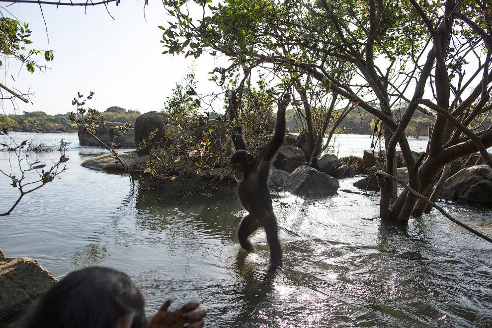 4. Шимпанзе — всеядные животные и живут в больших лесах, близ берегов моря и рек. (Фото Dan Kit