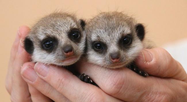 © Paul Fahy/Taronga Zoo/National Geographic   Тапир