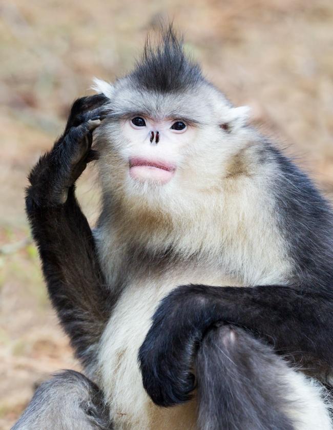 Самый редкий примат наЗемле был обнаружен в2010 году ввысокогорных районах Бирмы. Из-за особеннос