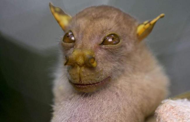 Эту летучую мышь сдобрыми глазами иноздрями ввиде трубок обнаружили в2009 году влесах Папуа— Н