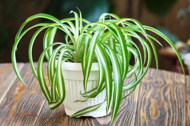 Растение-«паучок» сбогатой листвой имелкими белыми цветами активно борется с бензолом, формальдег