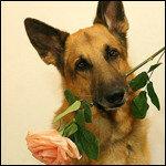 Фото немецкая овчарка с цветами