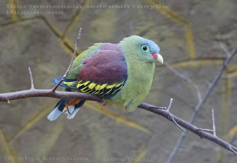 Treron curvirostra толстоклювый плодоядный голубь в Парке птиц Воробьи