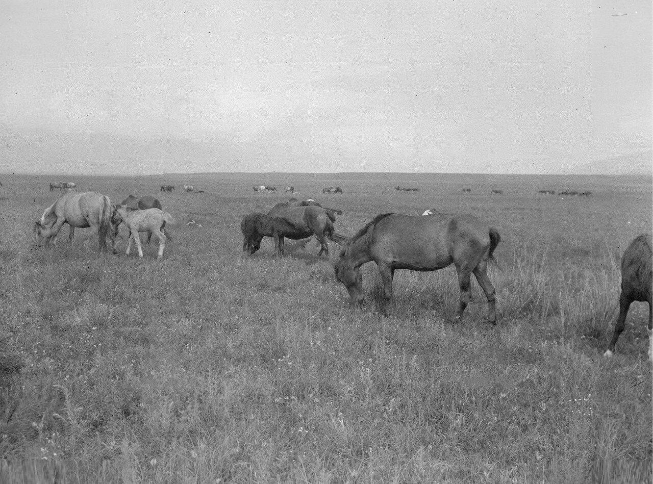 Киргизские лошади в долине реки Кунгес