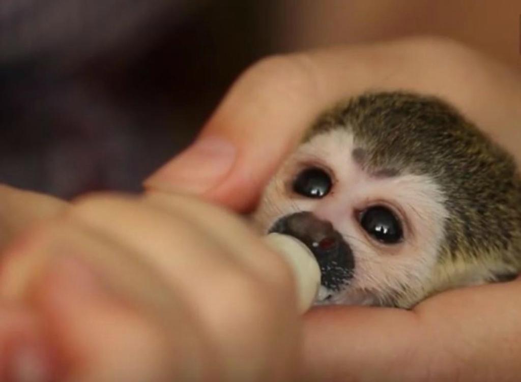 кошка и новорожденная обезьяна