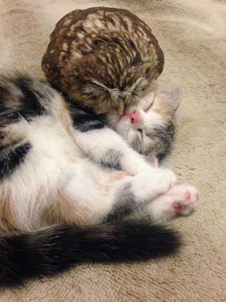 Необычная дружба совенка и котенка