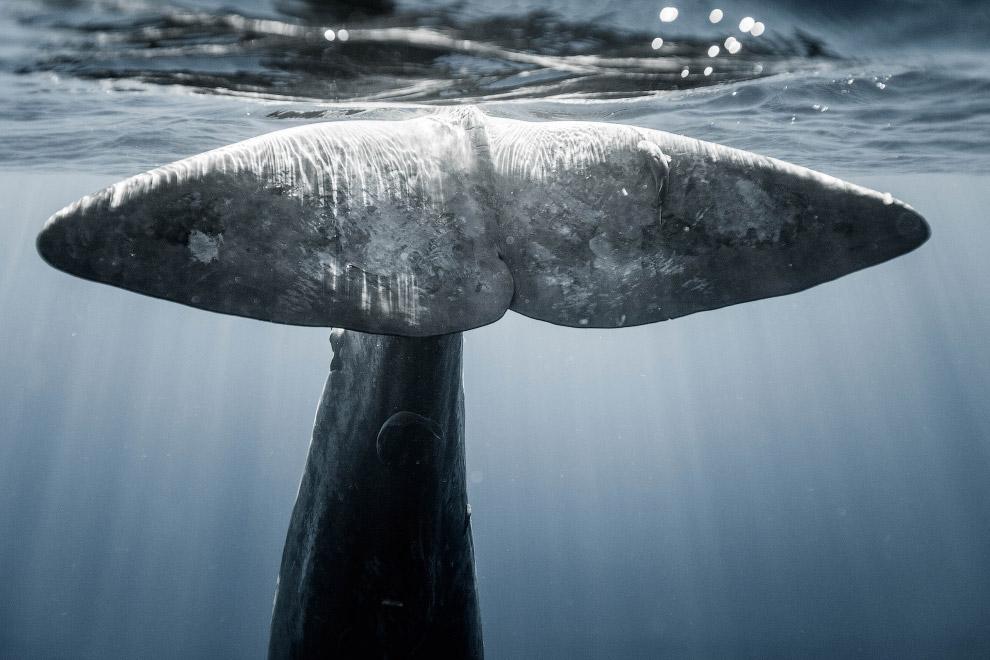 11. Отличный водолаз. Известна уникальная способность кашалота к чрезвычайно глубоким погружени