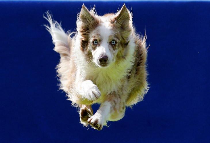 Конкурс летающих собак (14 фото)