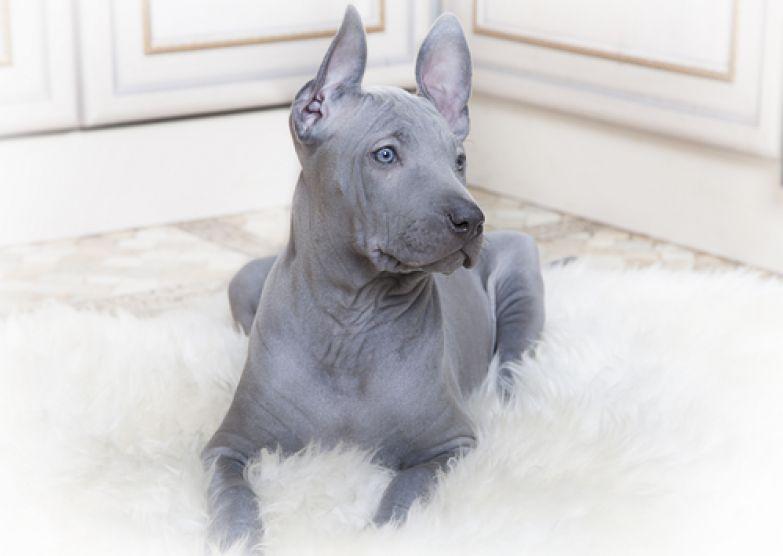 Весьма необычная порода собак, поскольку шерсть на их спине растет в обратном направлении. «Шерс