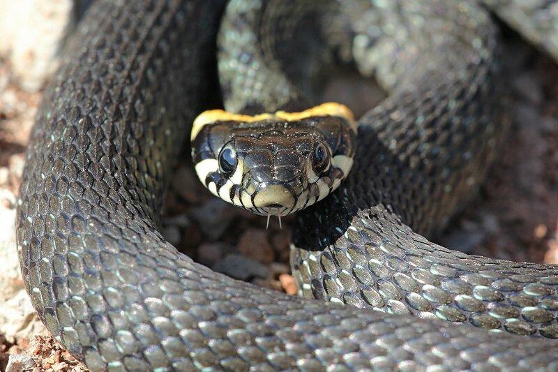 Уж обыкновенный (Natrix natrix) анфас, смотрит прямо в кадр - змея тёмно-серого цвета с чёрным узором и жёлтыми «ушами» - яркими пятнами в задней части головы