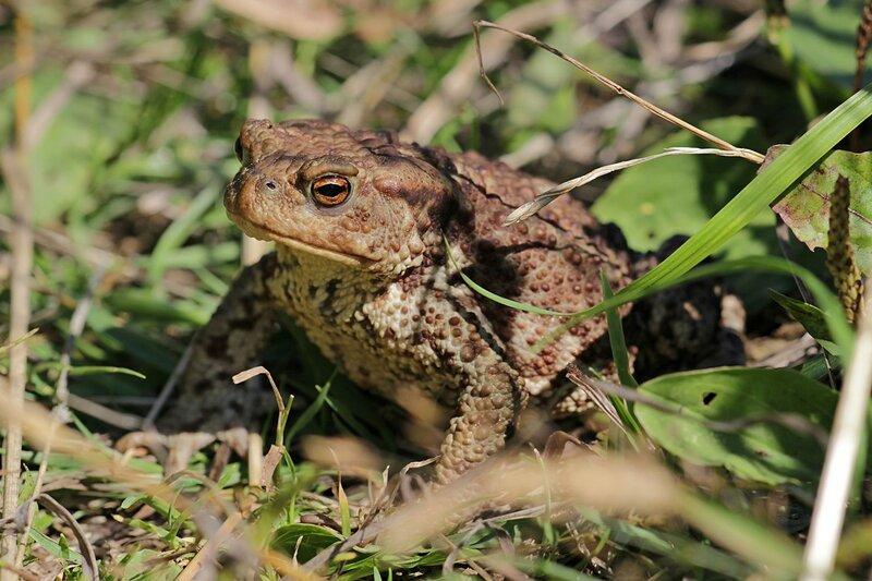 Толстая жаба с пупырчатой кожей с бородавками - обыкновенная жаба, она же жаба серая, она же коровница (лат. Bufo bufo)