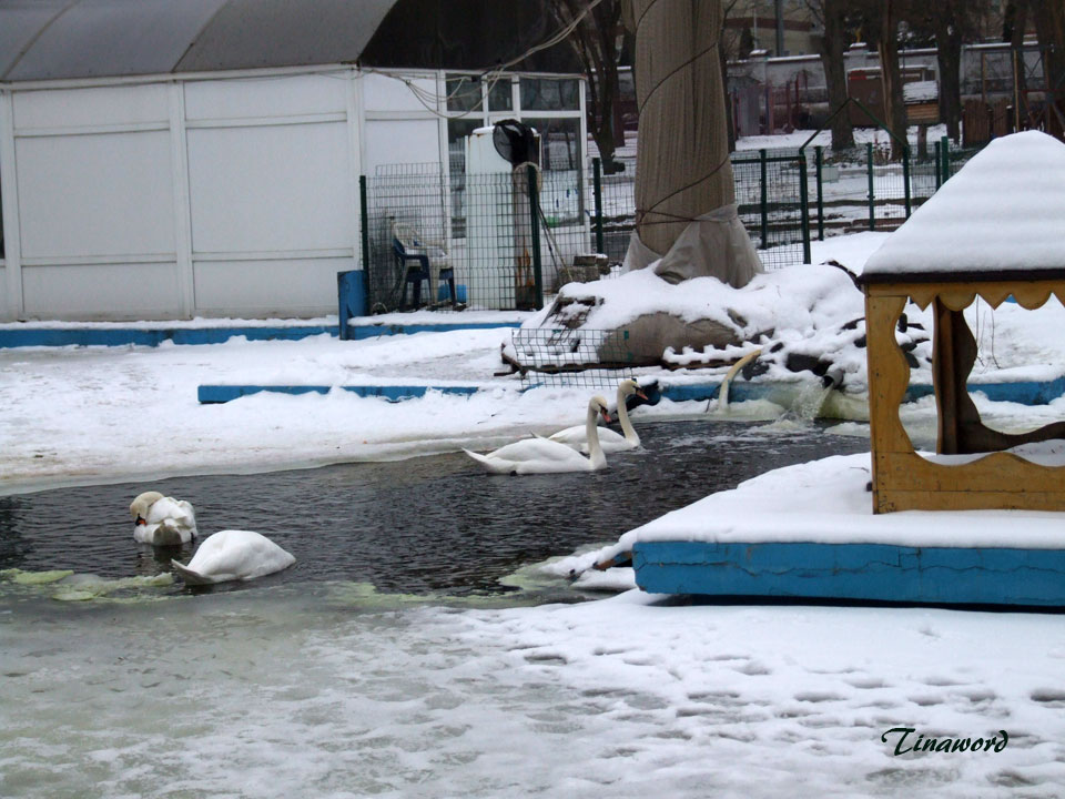 лебеди-08.jpg