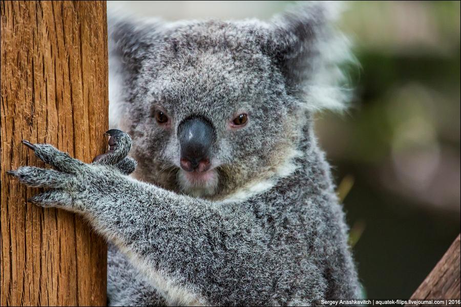 Почему коалам не нужен мозг