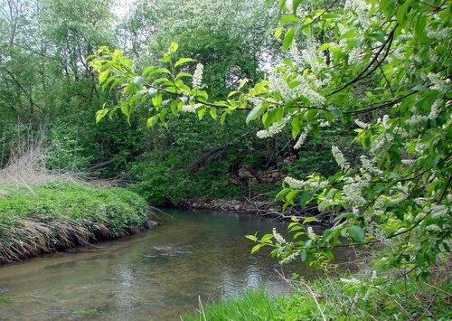 Черёмуха у реки