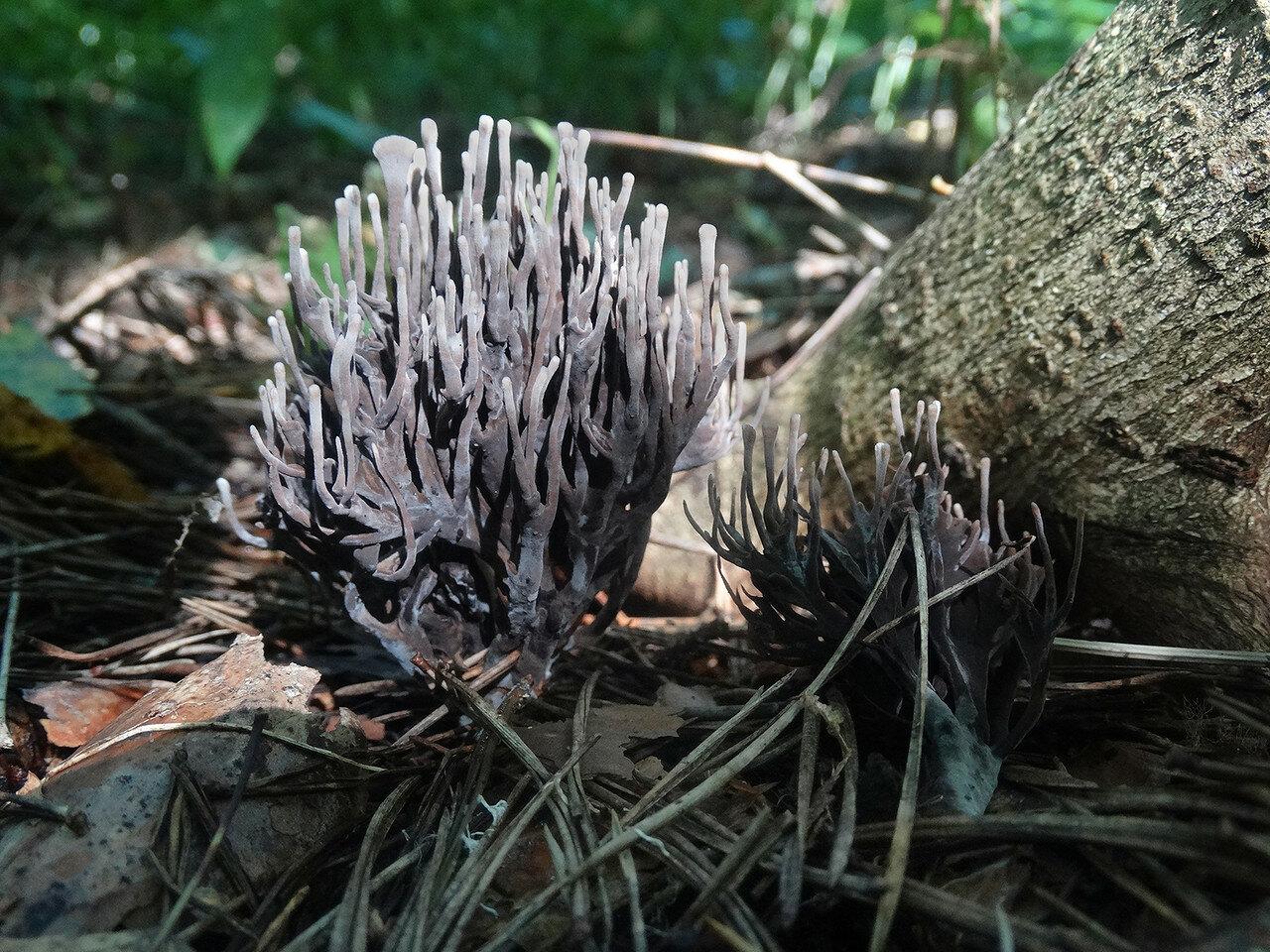 Телефора пальчатая (Thelephora palmata). Автор фото: Привалова Марина