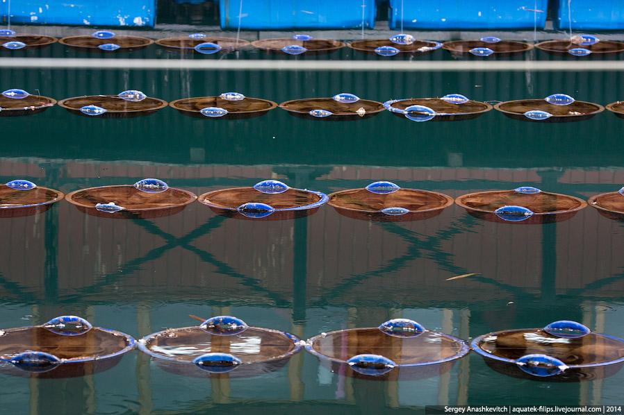 7. Для выращивания жемчуга используются самые разные виды моллюсков. За один и тот же промежуто