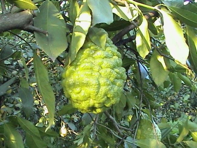 3. Бергамот Бергамот удивительное растение, плоды которого похожи на груши, но на самом деле родстве