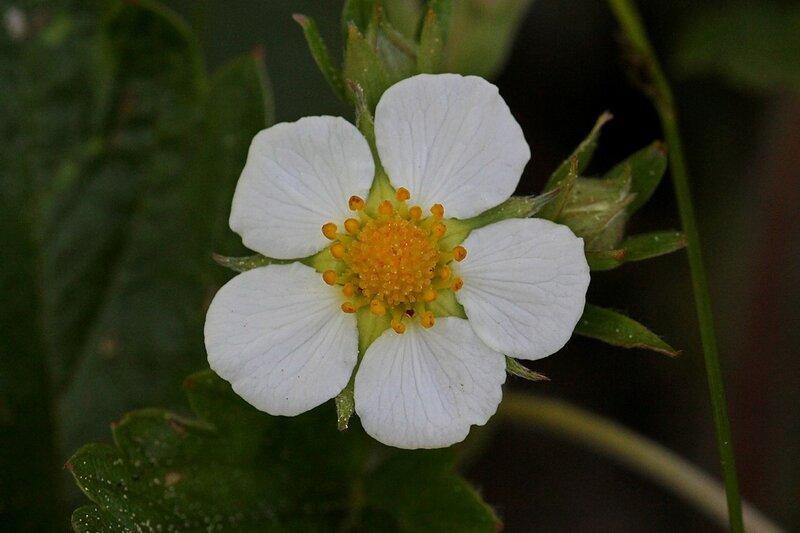 цветок земляники с белыми лепестками и жёлтой серединкой