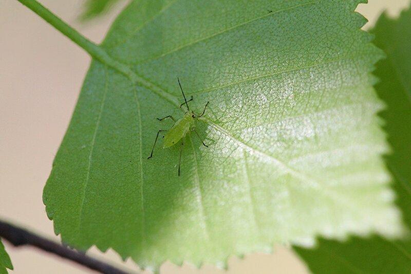 Зелёная тля на берёзовом листочке