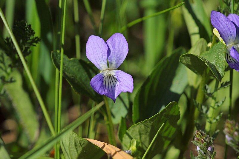 Фиолетовый цветок собачьей фиалки