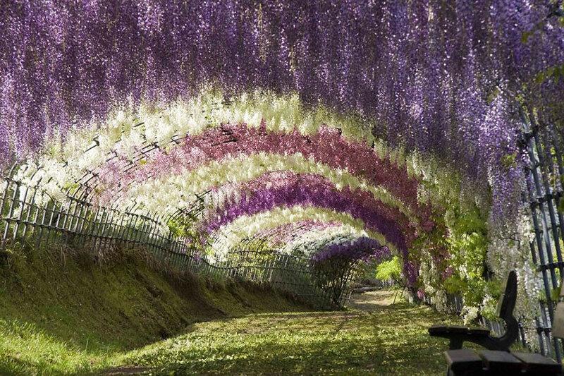 Тоннель из глициний Вистерия в японском саду цветов Кавати Фудзи