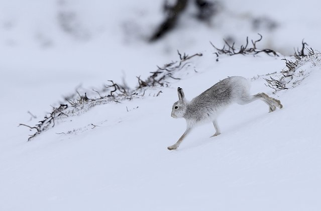 A mountain hare runs across the snow in the Cairngorm mountains near Glenshee in Scotland, Britain M