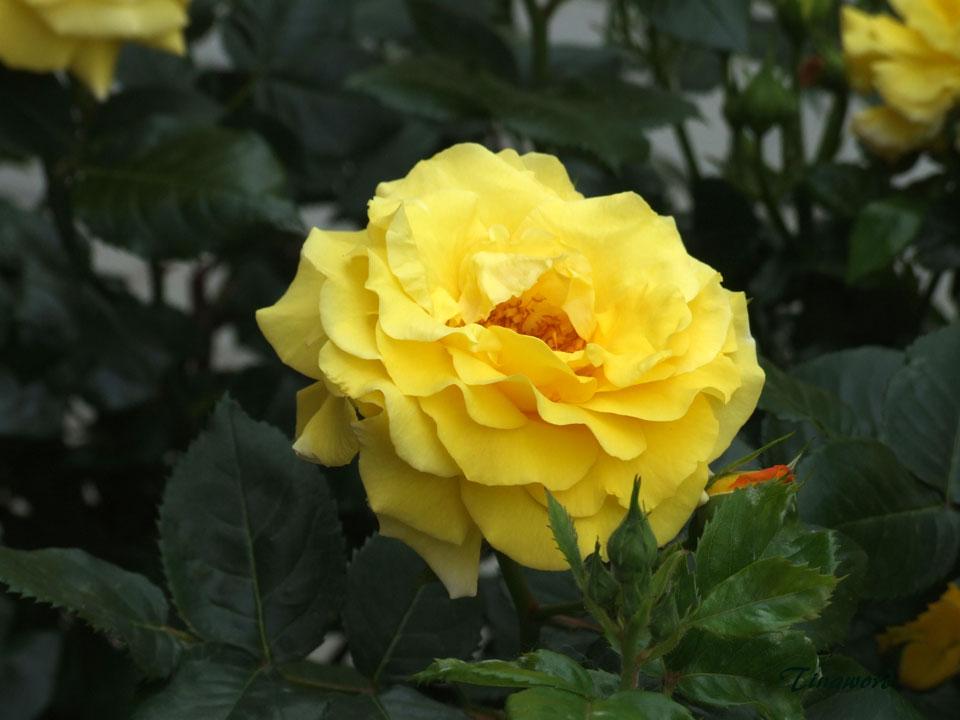 розы-42.jpg