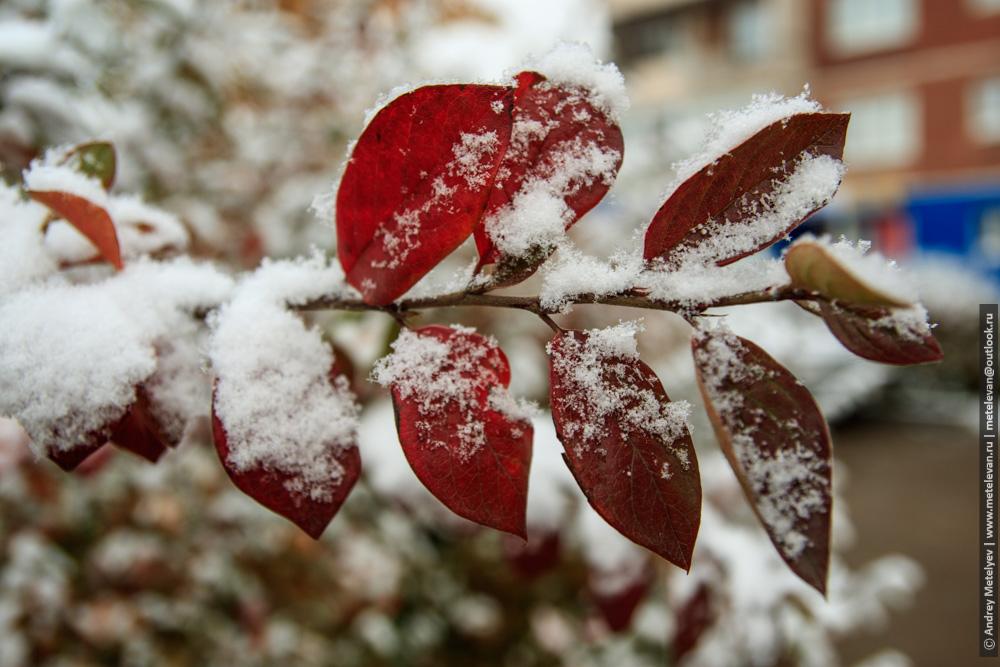 первый снег на красных листьях осенью