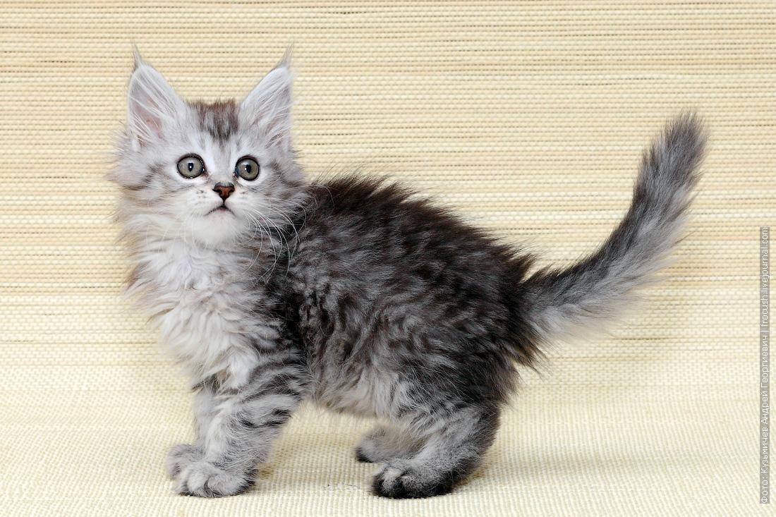 мейнкун котенок из питомника