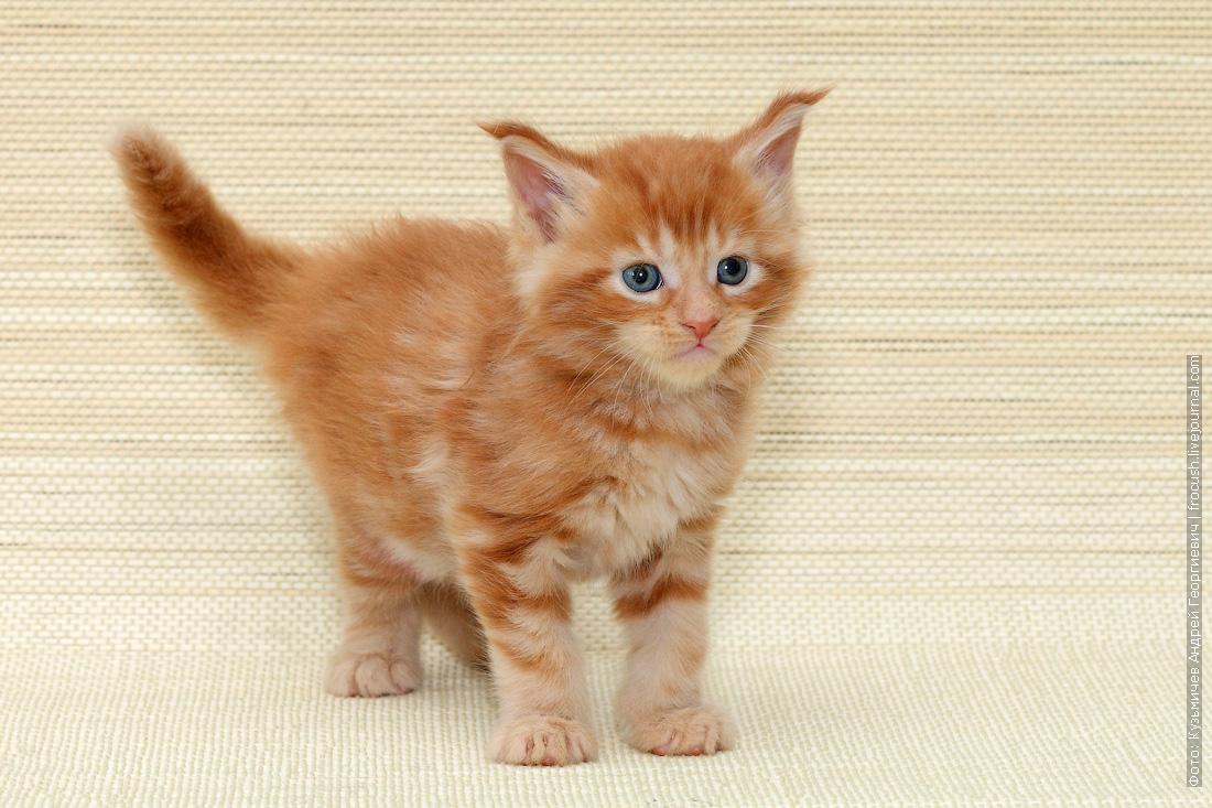 фото котенок Мейн-кун