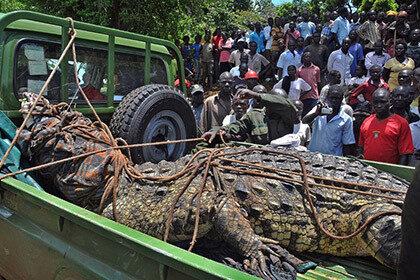 В Уганде изловили тысячекилограммового крокодила-людоеда