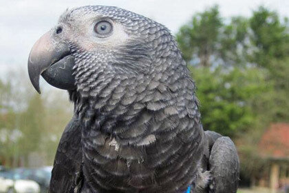 Лондонский попугай спас от преступника свою хозяйку