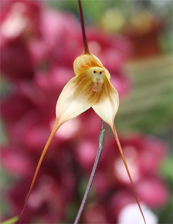 Удивительные орхидеи - Орхидея с обезьяньей мордочкой (Dracula Simia)