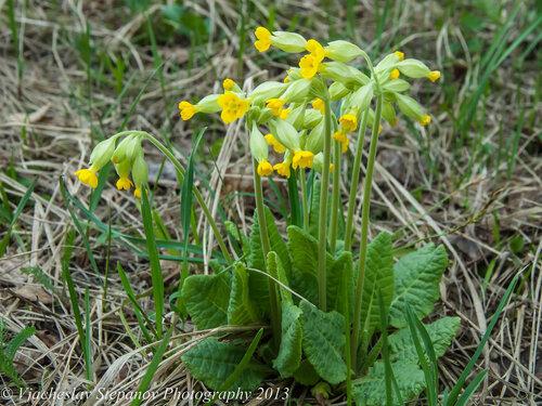 Первоцвет весенний (Primula veris) Автор: Вячеслав Степанов