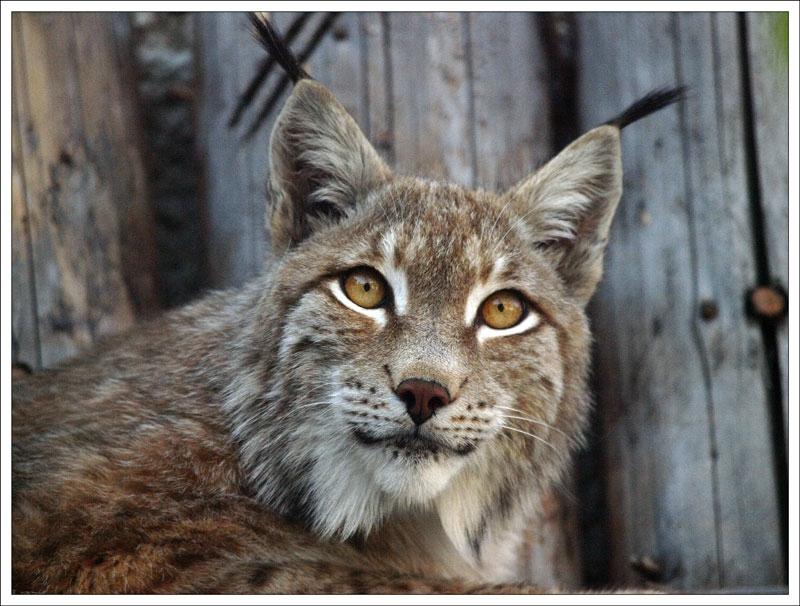 89_Lynx.jpg