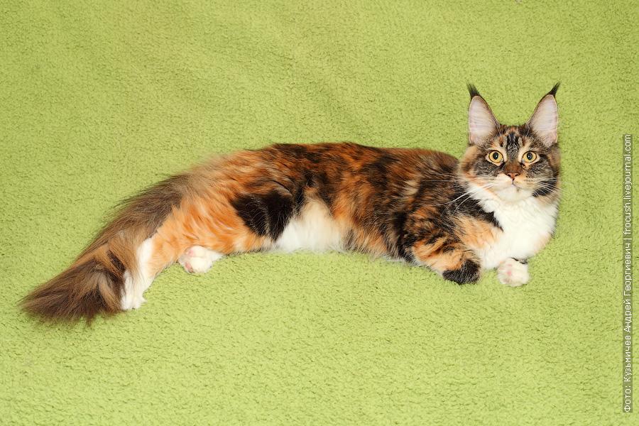 Мейн-кун кошка-производитель черепашка питомник Москва