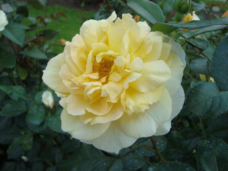 Нежность белой розы