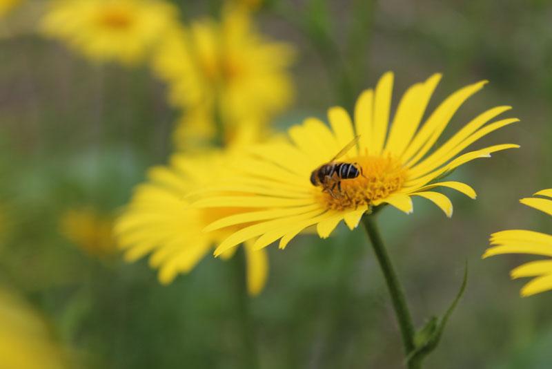 12 Многолетников для цветников, не требующие ухода - Дороникум — желтая ромашка