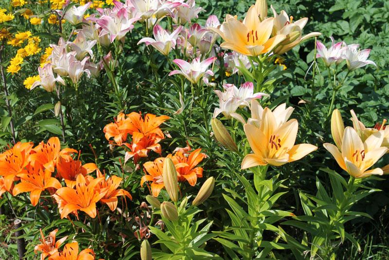 12 Многолетников для цветников, не требующие ухода - пример клумбы