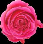 NLD Rose 4b.png